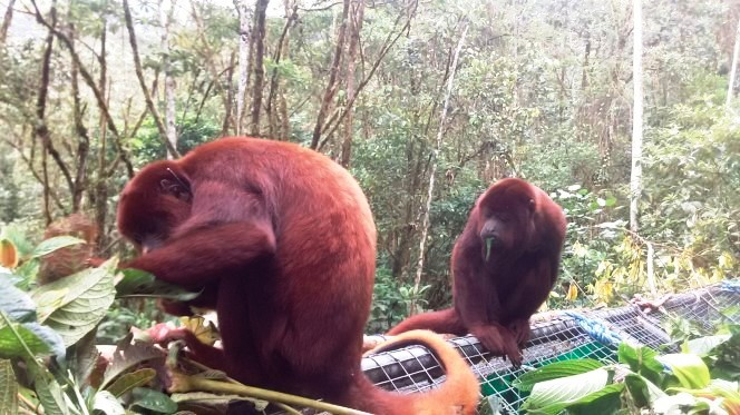 Released howler monkeys Merazonia 2