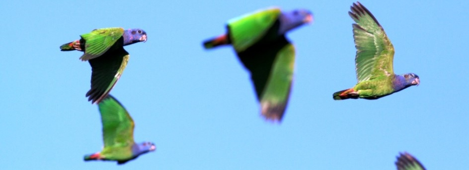 blue headed parrots flying