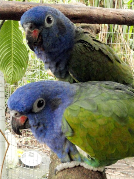 blue headed parrots merazonia