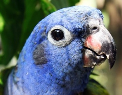 Blue-headed parrots released!