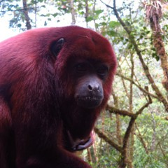 Released red howler monkeys at Merazonia