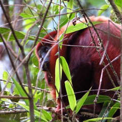 Released red howler monkey Niamh at Merazonia